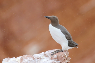 Bird picture: Uria aalge / Zeekoet / Common Murre