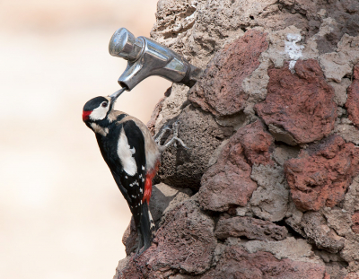 Bird picture: Dendrocopos major / Grote Bonte Specht / Great Spotted Woodpecker