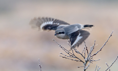 Vogel foto: Lanius excubitor / Klapekster / Great Grey Shrike