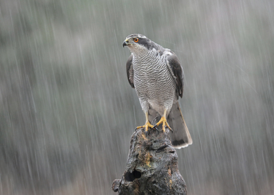 Accipiter gentilis / Havik / Northern Goshawk