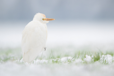 Bird picture: Bubulcus ibis / Koereiger / Western Cattle Egret