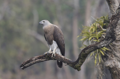 Bird picture: Haliaeetus ichthyaetus / Grote Rivierarend / Grey-headed Fish Eagle