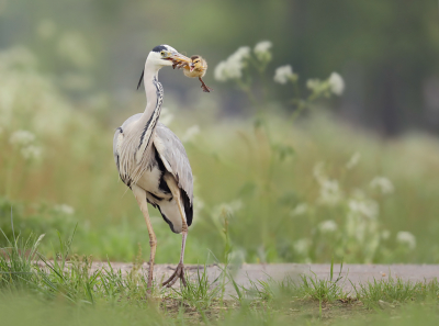 Bird picture: Ardea cinerea / Blauwe Reiger / Grey Heron