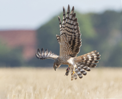 Bird picture: Circus pygargus / Grauwe Kiekendief / Montagu's Harrier