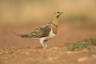 Bird picture: Pterocles alchata / Witbuikzandhoen / Pin-tailed Sandgrouse