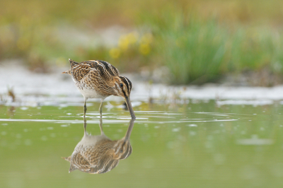 Bird picture: Gallinago gallinago / Watersnip / Common Snipe