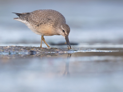 Bird picture: Calidris canutus / Kanoet / Red Knot