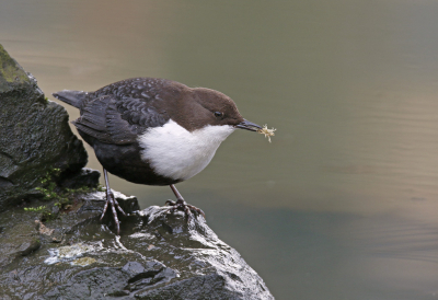 Cinclus cinclus / Waterspreeuw / White-throated Dipper