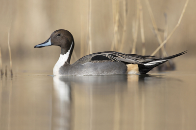 Anas acuta / Pijlstaart / Northern Pintail