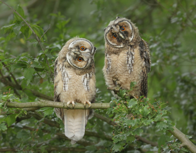 Bird picture: Asio otus / Ransuil / Long-eared Owl