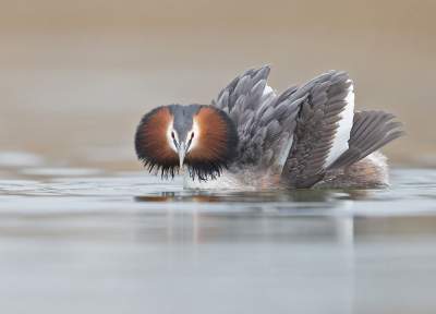 Podiceps cristatus / Fuut / Great Crested Grebe