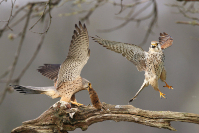 Falco tinnunculus / Torenvalk / Common Kestrel