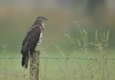 Bird picture: Pernis apivorus / Wespendief / European Honey Buzzard