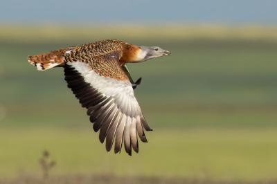Bird picture: Otis tarda / Grote Trap / Great Bustard