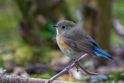 Bird picture: Tarsiger cyanurus / Blauwstaart / Red-flanked Bluetail
