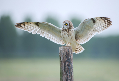 Bird picture: Asio flammeus / Velduil / Short-eared Owl
