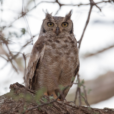 Bubo africanus / Afrikaanse Oehoe / Spotted Eagle-Owl