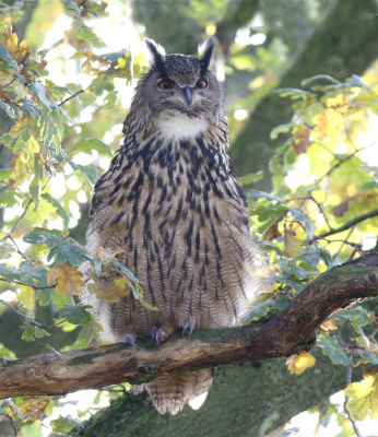 Bird picture: Bubo bubo / Oehoe / Eurasian Eagle-Owl