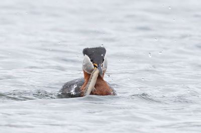 Bird picture: Podiceps grisegena / Roodhalsfuut / Red-necked Grebe