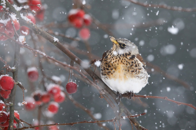 Bird picture: Turdus pilaris / Kramsvogel / Fieldfare