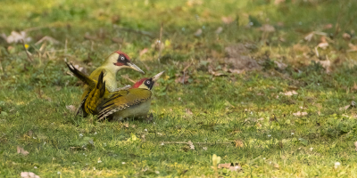 Bird picture: Picus viridis / Groene Specht / European Green Woodpecker