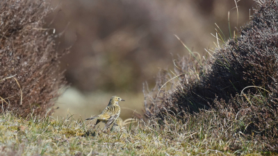 Vogel foto: Anthus pratensis / Graspieper / Meadow Pipit
