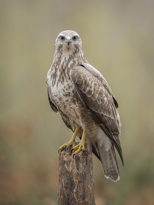 Bird picture: Buteo buteo / Buizerd / Common Buzzard