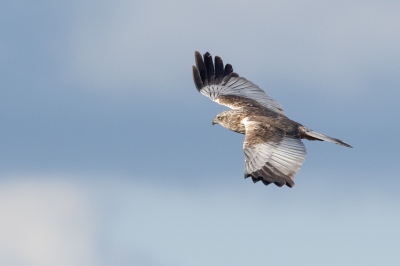 Bird picture: Circus aeruginosus / Bruine Kiekendief / Western Marsh Harrier
