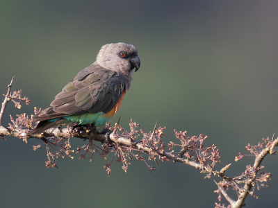 Bird picture: Poicephalus rufiventris / Roodbuikpapegaai / Red-bellied Parrot