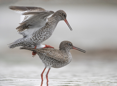 Vogel foto: Tringa totanus / Tureluur / Common Redshank