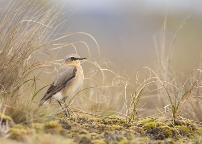 Bird picture: Oenanthe oenanthe / Tapuit / Northern Wheatear