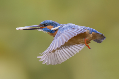 Bird picture: Alcedo atthis / IJsvogel / Common Kingfisher