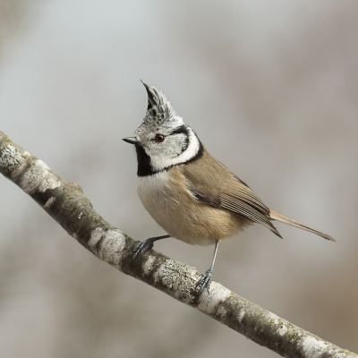 Bird picture: Lophophanes cristatus / Kuifmees / European Crested Tit