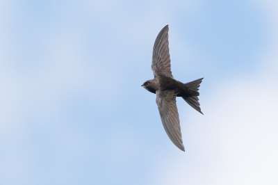 Vogel foto: Apus apus / Gierzwaluw / Common Swift