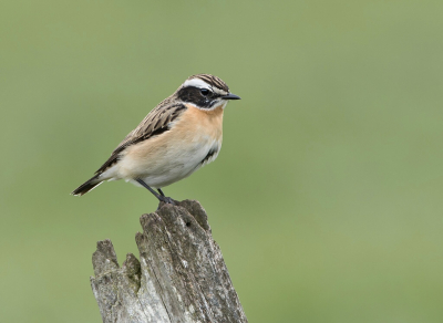 Vogel foto: Saxicola rubetra / Paapje / Whinchat