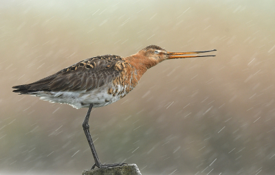 Bird picture: Limosa limosa / Grutto / Black-tailed Godwit