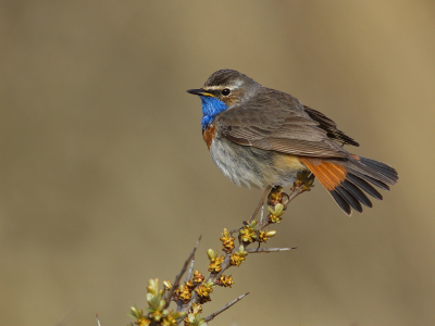 Bird picture: Luscinia svecica / Blauwborst / Bluethroat