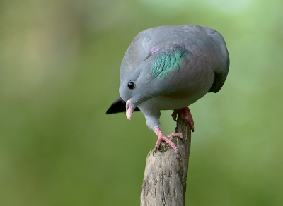 Bird picture: Columba oenas / Holenduif / Stock Dove