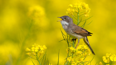 Vogel foto: Sylvia communis / Grasmus / Common Whitethroat