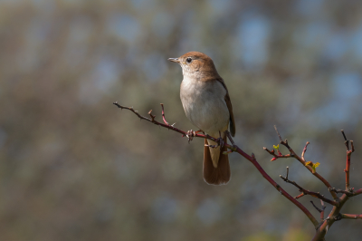 Vogel foto: Luscinia megarhynchos / Nachtegaal / Common Nightingale