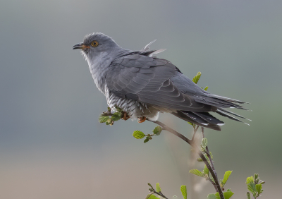 Bird picture: Cuculus canorus / Koekoek / Common Cuckoo