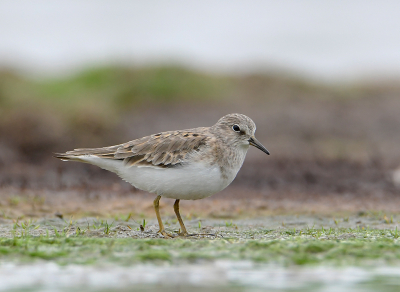 Bird picture: Calidris temminckii / Temmincks Strandloper / Temminck's Stint