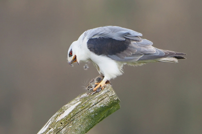 Bird picture: Elanus caeruleus / Grijze Wouw / Black-winged Kite