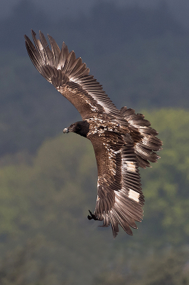 Bird picture: Gypaetus barbatus / Lammergier / Bearded Vulture