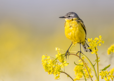 Bird picture: Motacilla flava / Gele Kwikstaart / Blue-headed Wagtail