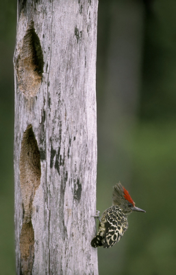 Bird picture: Hemicircus concretus / Kortstaartspecht / Grey-and-buff Woodpecker