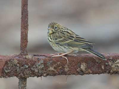 Anthus pratensis / Graspieper / Meadow Pipit